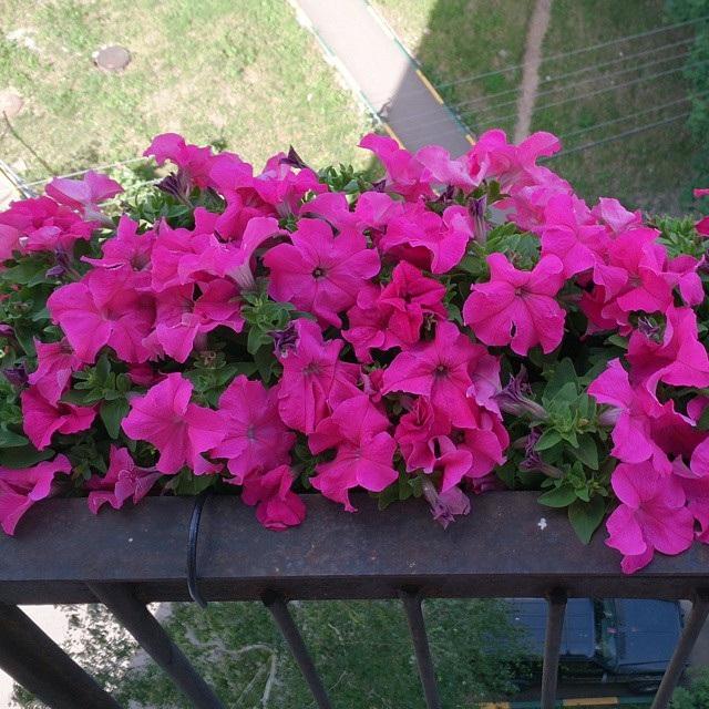 які квіти садять на балконі