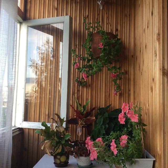 ипомея квіти на балконі