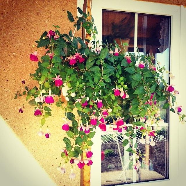 цветы на балконе вьющиеся