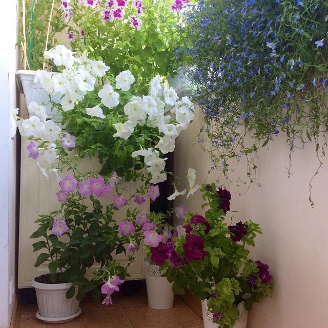 які квіти посадити на балконі на сонячній стороні